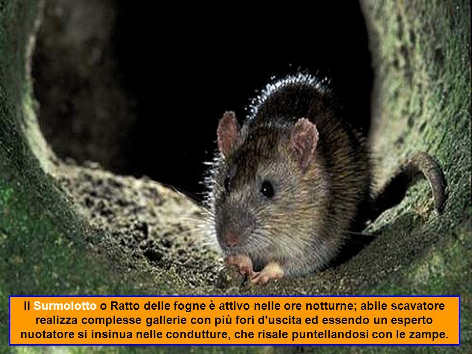 Il Ratto nero o Ratto comune è un mammifero roditore inserito nellelenco delle 100 specie più nocive al mondo.