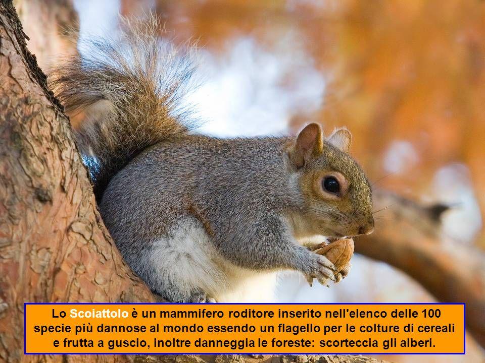 Lo Scoiattolo è un mammifero roditore inserito nell elenco delle 100 specie più dannose al mondo essendo un flagello per le colture di cereali e frutta a guscio, inoltre danneggia le foreste: scorteccia gli alberi.