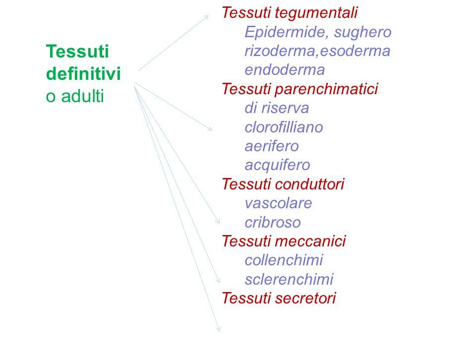 Tessuti tegumentali Epidermide, sughero rizoderma,esoderma endoderma Tessuti parenchimatici di riserva clorofilliano aerifero acquifero Tessuti condut
