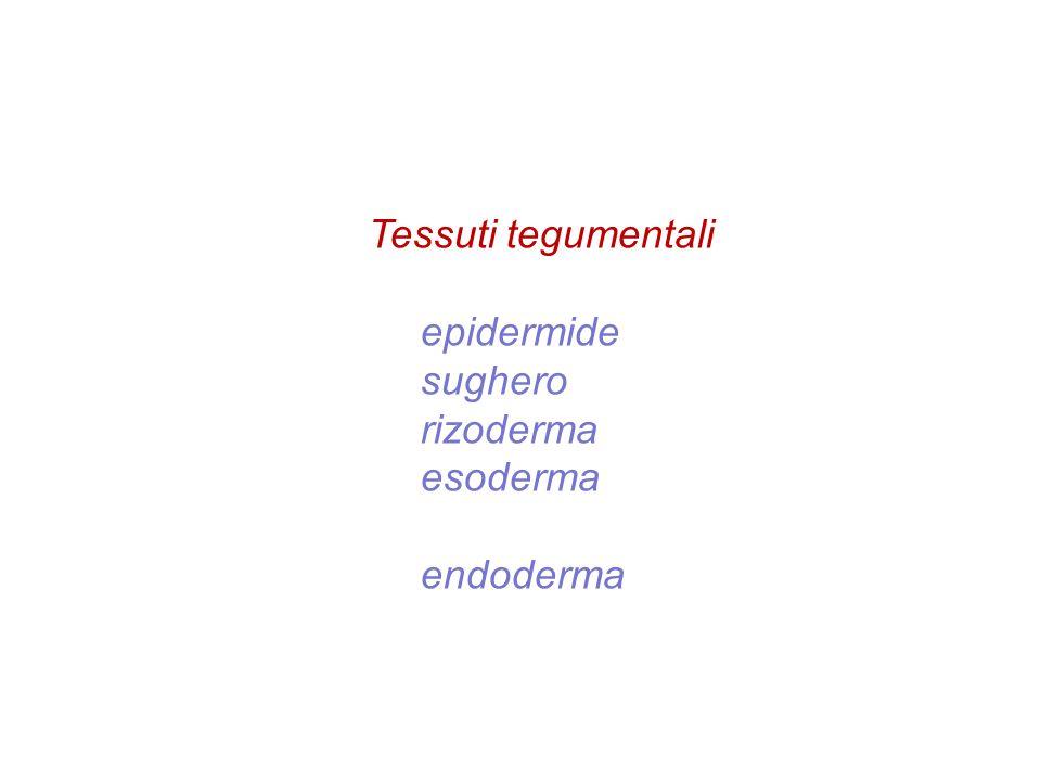 Tessuti tegumentali epidermide sughero rizoderma esoderma endoderma