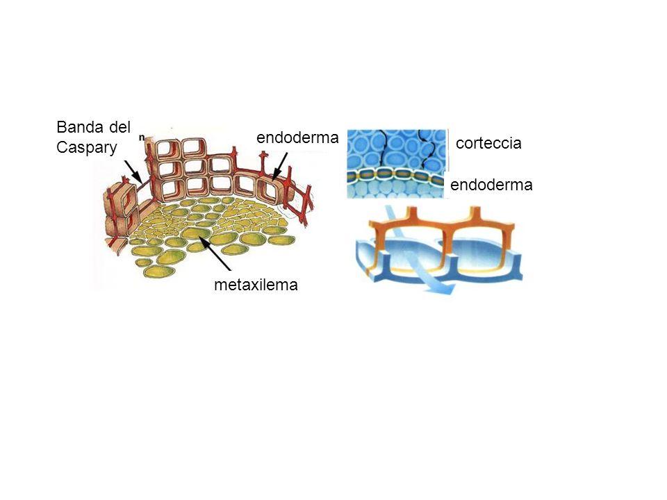 Banda del Caspary endoderma metaxilema corteccia endoderma