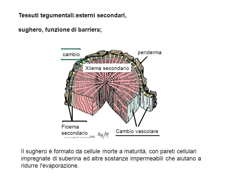 periderma Xilema secondario cambio Floema secondario Cambio vascolare Tessuti tegumentali:esterni secondari, sughero, funzione di barriera; Il sughero