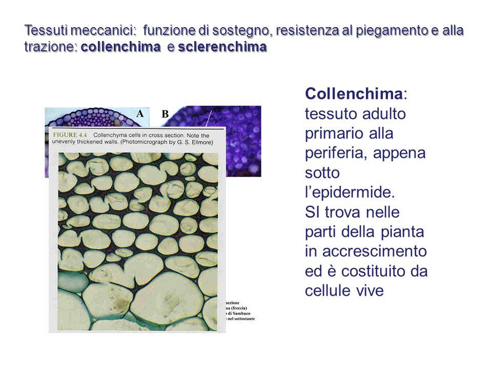 Tessuti meccanici: funzione di sostegno, resistenza al piegamento e alla trazione: collenchima e sclerenchima Collenchima: tessuto adulto primario all