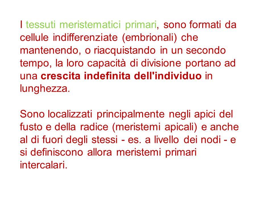 I tessuti meristematici primari, sono formati da cellule indifferenziate (embrionali) che mantenendo, o riacquistando in un secondo tempo, la loro cap