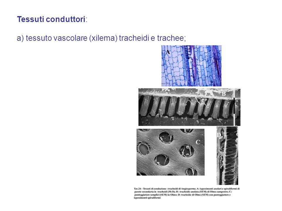 Tessuti conduttori: a) tessuto vascolare (xilema) tracheidi e trachee;