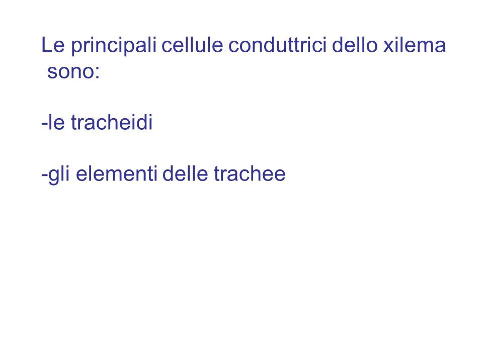 Le principali cellule conduttrici dello xilema sono: -le tracheidi -gli elementi delle trachee