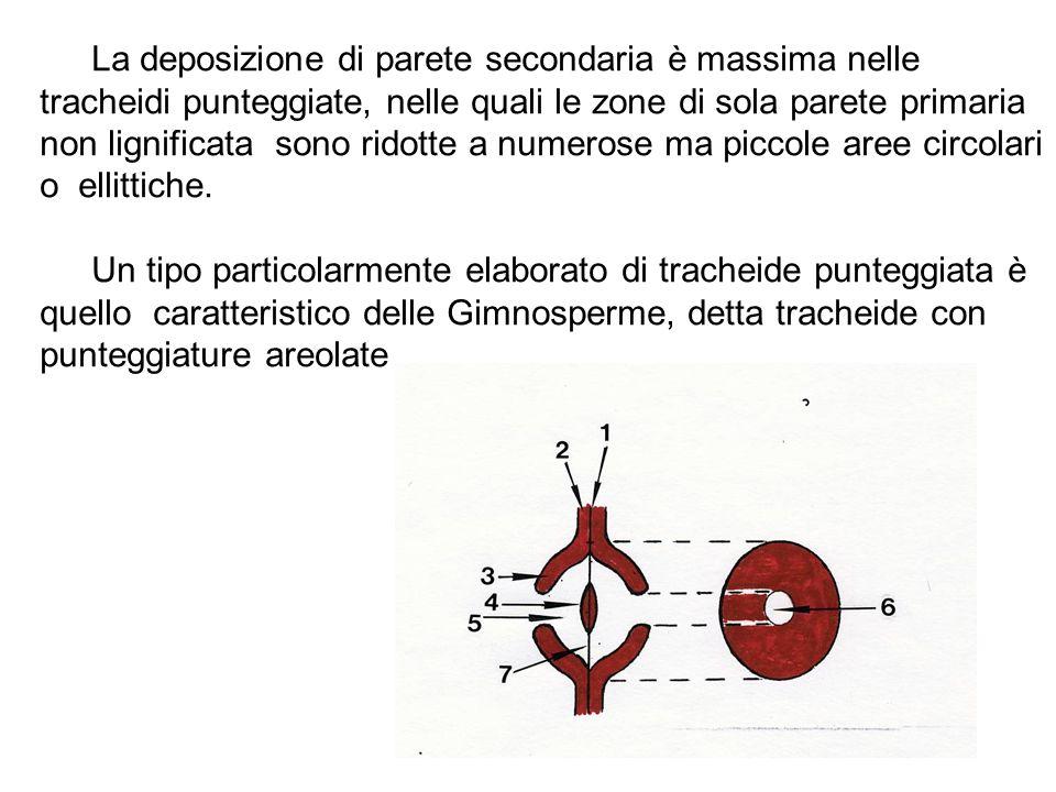 La deposizione di parete secondaria è massima nelle tracheidi punteggiate, nelle quali le zone di sola parete primaria non lignificata sono ridotte a