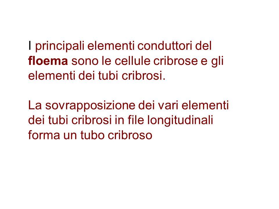 I principali elementi conduttori del floema sono le cellule cribrose e gli elementi dei tubi cribrosi. La sovrapposizione dei vari elementi dei tubi c