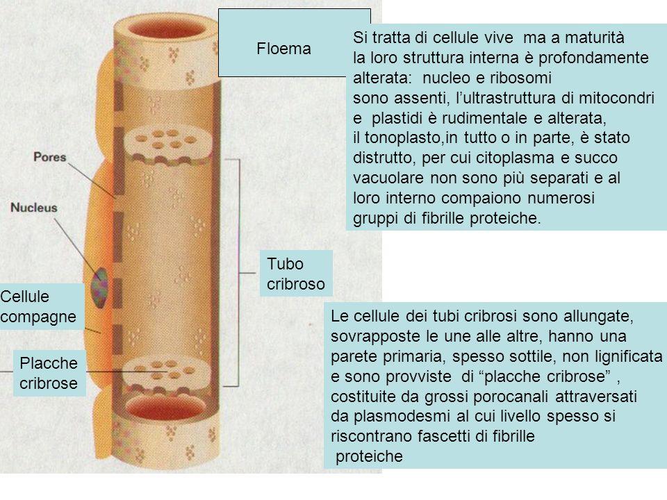 Tubo cribroso Floema Si tratta di cellule vive ma a maturità la loro struttura interna è profondamente alterata: nucleo e ribosomi sono assenti, lultr
