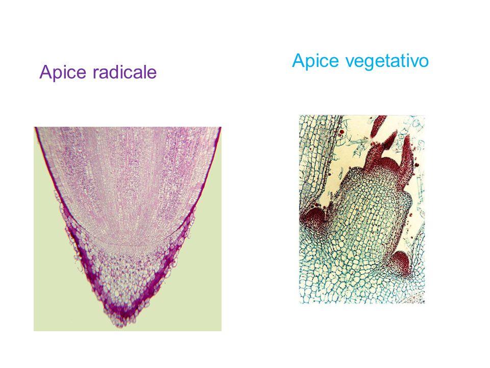 Apice radicale Apice vegetativo
