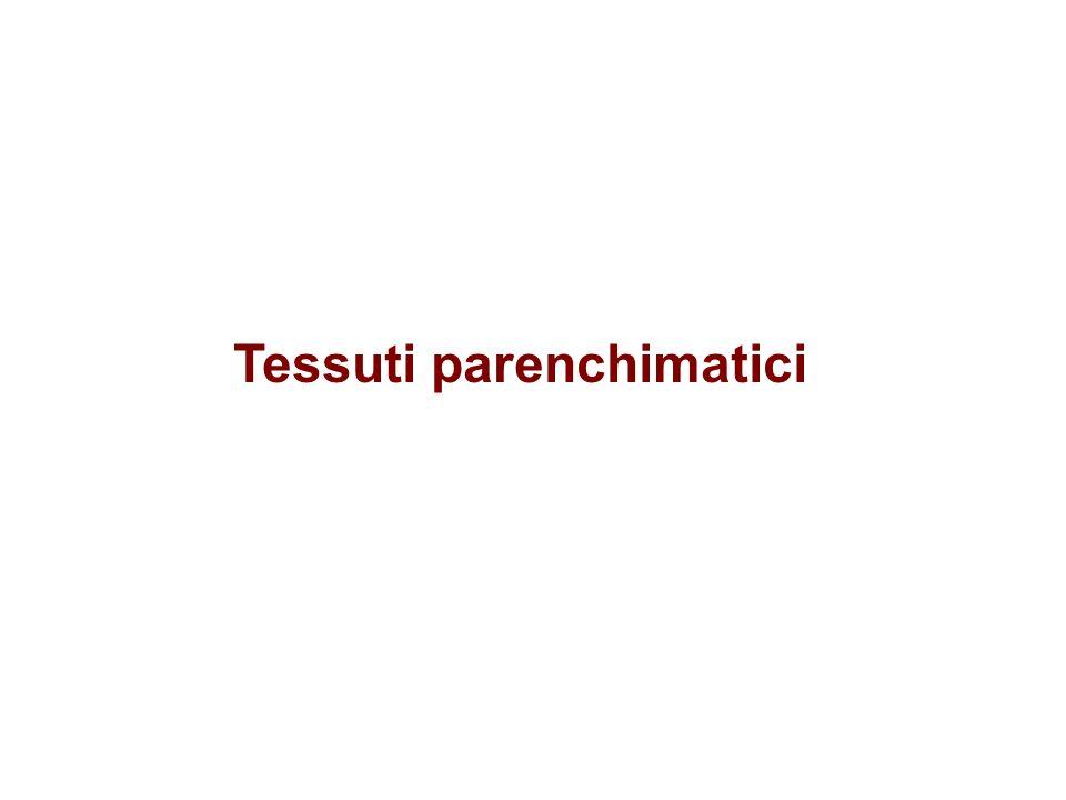 Tessuti parenchimatici