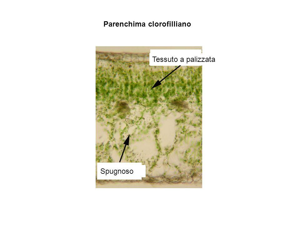 Tessuto a palizzata Spugnoso Parenchima clorofilliano