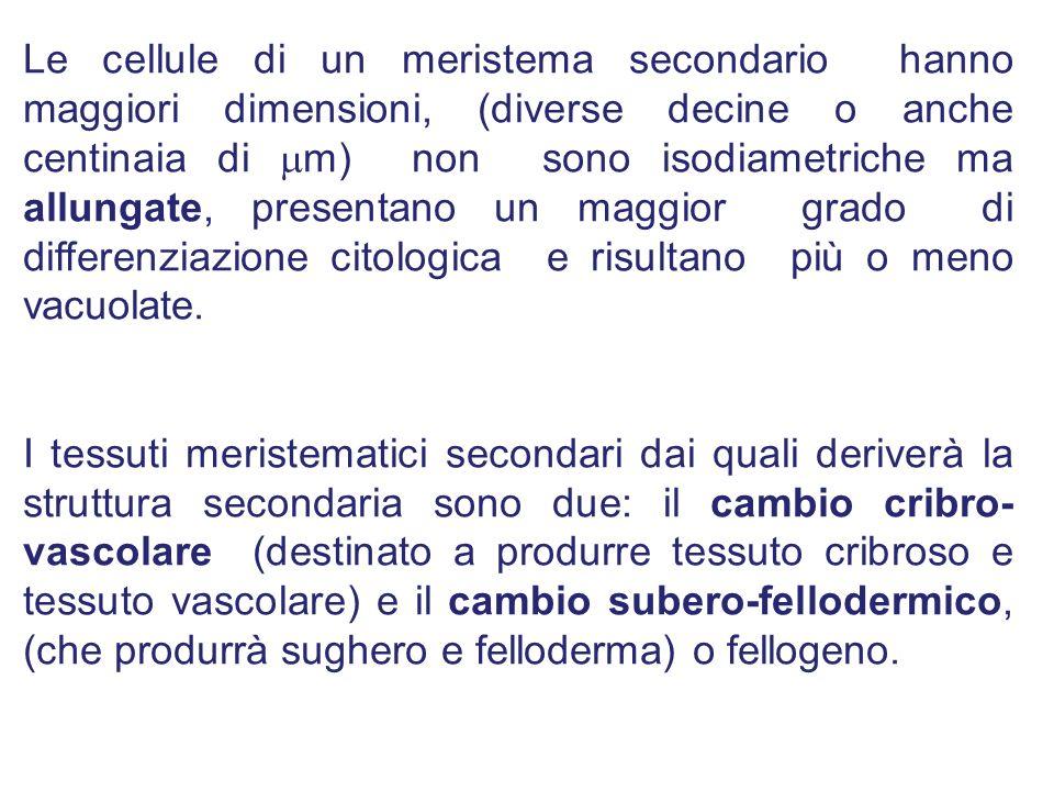 Le cellule di un meristema secondario hanno maggiori dimensioni, (diverse decine o anche centinaia di m) non sono isodiametriche ma allungate, present