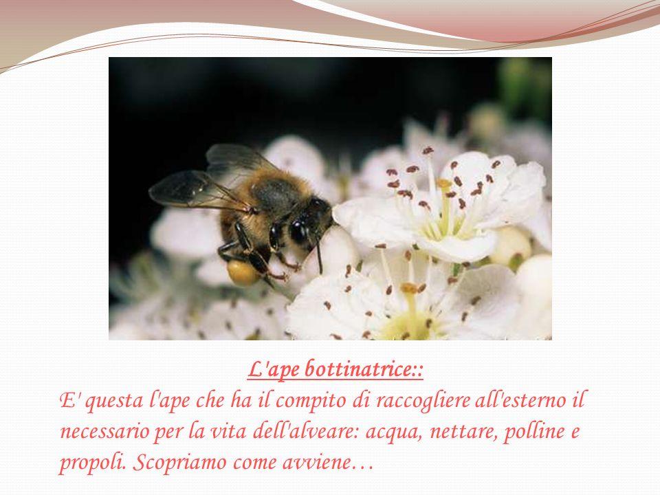 L'ape bottinatrice:: E' questa l'ape che ha il compito di raccogliere all'esterno il necessario per la vita dell'alveare: acqua, nettare, polline e pr