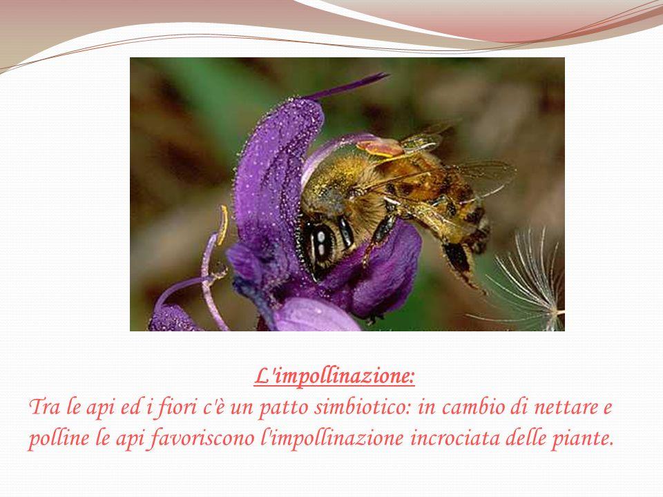L'impollinazione: Tra le api ed i fiori c'è un patto simbiotico: in cambio di nettare e polline le api favoriscono l'impollinazione incrociata delle p