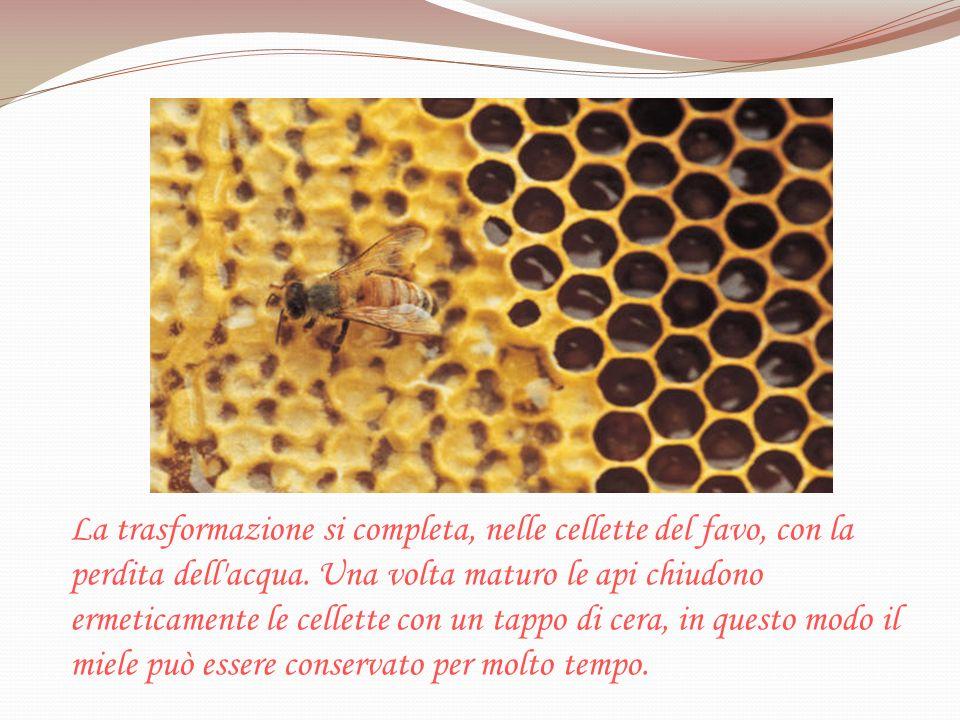 La trasformazione si completa, nelle cellette del favo, con la perdita dell'acqua. Una volta maturo le api chiudono ermeticamente le cellette con un t