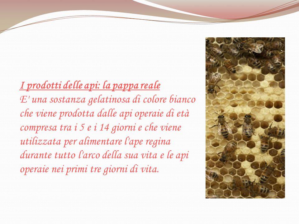 I prodotti delle api: la pappa reale E' una sostanza gelatinosa di colore bianco che viene prodotta dalle api operaie di età compresa tra i 5 e i 14 g