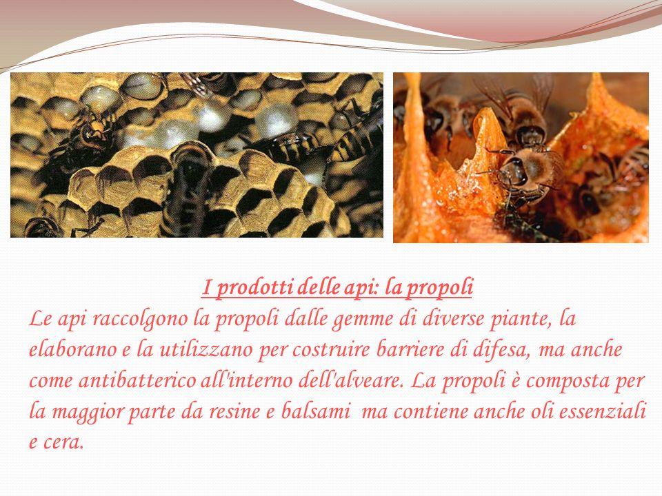 I prodotti delle api: la propoli Le api raccolgono la propoli dalle gemme di diverse piante, la elaborano e la utilizzano per costruire barriere di di