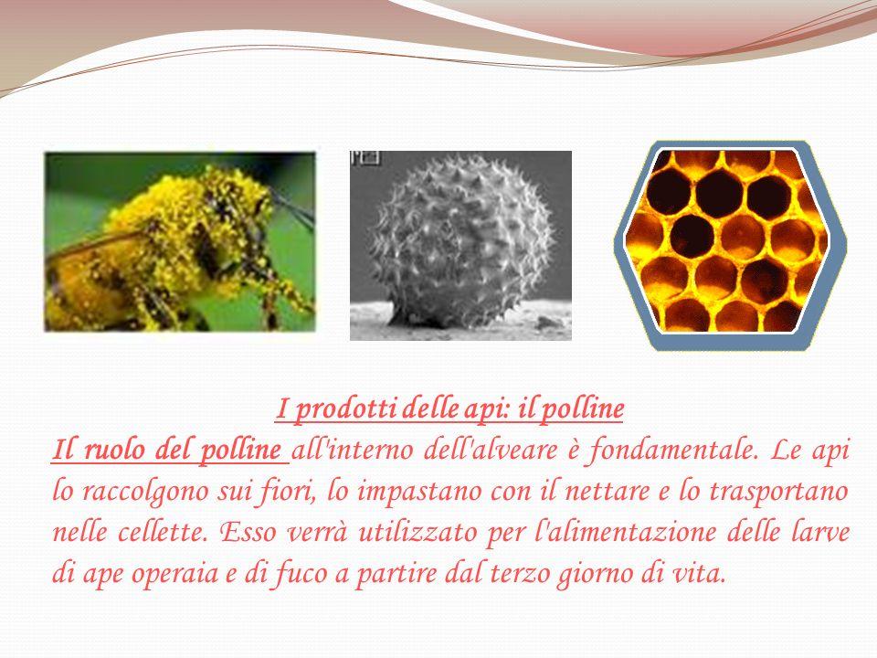 I prodotti delle api: il polline Il ruolo del polline all'interno dell'alveare è fondamentale. Le api lo raccolgono sui fiori, lo impastano con il net