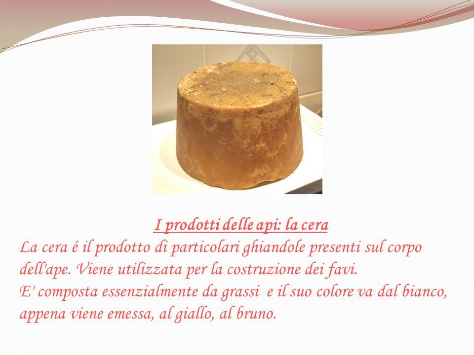 I prodotti delle api: la cera La cera é il prodotto di particolari ghiandole presenti sul corpo dell'ape. Viene utilizzata per la costruzione dei favi