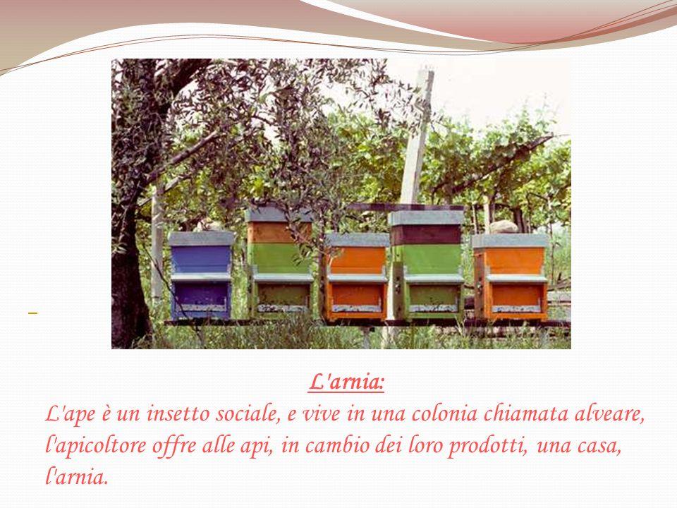 L'arnia: L'ape è un insetto sociale, e vive in una colonia chiamata alveare, l'apicoltore offre alle api, in cambio dei loro prodotti, una casa, l'arn
