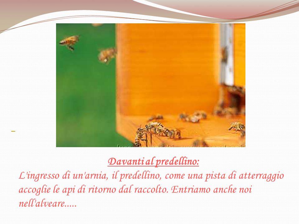 Davanti al predellino: L'ingresso di un'arnia, il predellino, come una pista di atterraggio accoglie le api di ritorno dal raccolto. Entriamo anche no