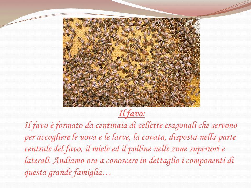 Il favo: Il favo è formato da centinaia di cellette esagonali che servono per accogliere le uova e le larve, la covata, disposta nella parte centrale