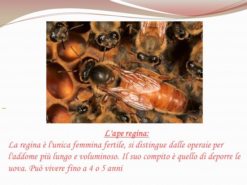 L'ape regina: La regina è l'unica femmina fertile, si distingue dalle operaie per l'addome più lungo e voluminoso. Il suo compito è quello di deporre