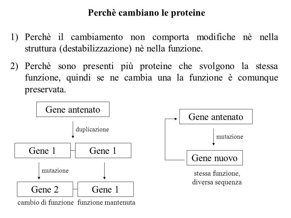 Perchè cambiano le proteine 1)Perchè il cambiamento non comporta modifiche nè nella struttura (destabilizzazione) nè nella funzione. 2)Perchè sono pre