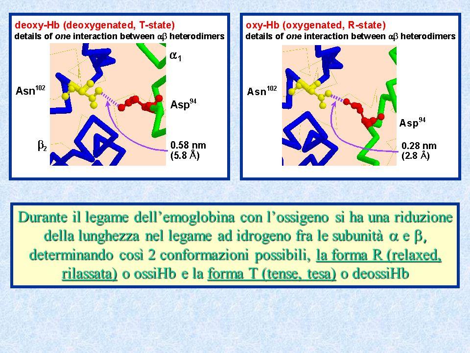 Durante il legame dellemoglobina con lossigeno si ha una riduzione della lunghezza nel legame ad idrogeno fra le subunità e, determinando così 2 conformazioni possibili, la forma R (relaxed, rilassata) o ossiHb e la forma T (tense, tesa) o deossiHb