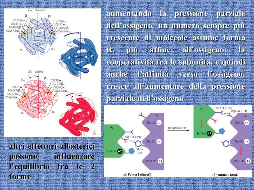 aumentando la pressione parziale dellossigeno, un numero sempre più crescente di molecole assume forma R, più affine allossigeno; la cooperatività tra le subunità, e quindi anche laffinità verso lossigeno, cresce allaumentare della pressione parziale dellossigeno altri effettori allosterici possono influenzare lequilibrio fra le 2 forme
