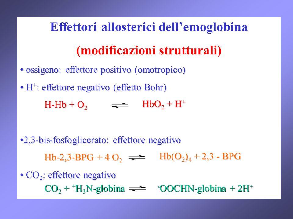 Effettori allosterici dellemoglobina (modificazioni strutturali) ossigeno: effettore positivo (omotropico) ossigeno: effettore positivo (omotropico) H + : effettore negativo (effetto Bohr) H + : effettore negativo (effetto Bohr) H-Hb + O 2 H-Hb + O 2 2,3-bis-fosfoglicerato: effettore negativo2,3-bis-fosfoglicerato: effettore negativo Hb-2,3-BPG + 4 O 2 Hb-2,3-BPG + 4 O 2 CO 2 : effettore negativo CO 2 : effettore negativo HbO 2 + H + Hb(O 2 ) 4 + 2,3 - BPG CO 2 + + H 3 N-globina - OOCHN-globina + 2H +