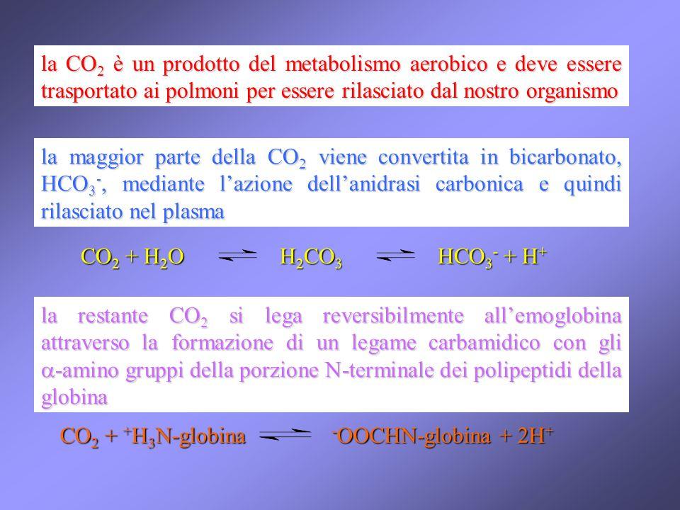 la CO 2 è un prodotto del metabolismo aerobico e deve essere trasportato ai polmoni per essere rilasciato dal nostro organismo la maggior parte della