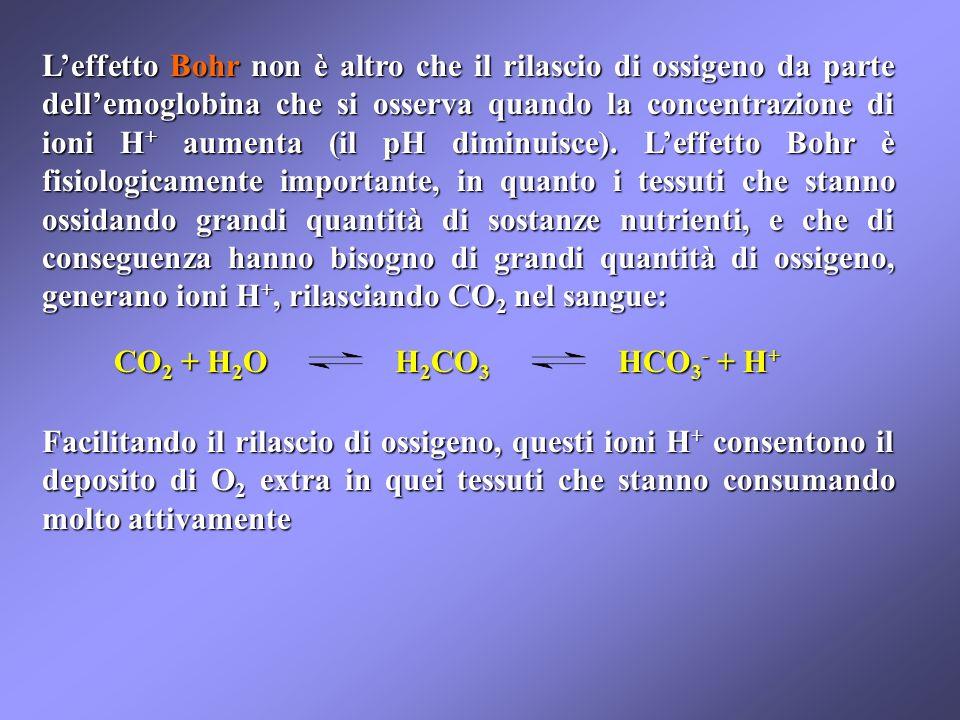 Leffetto Bohr non è altro che il rilascio di ossigeno da parte dellemoglobina che si osserva quando la concentrazione di ioni H + aumenta (il pH diminuisce).