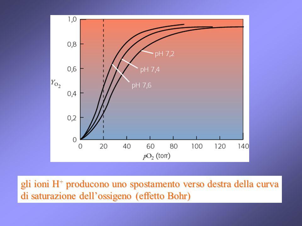 gli ioni H + producono uno spostamento verso destra della curva di saturazione dellossigeno (effetto Bohr)