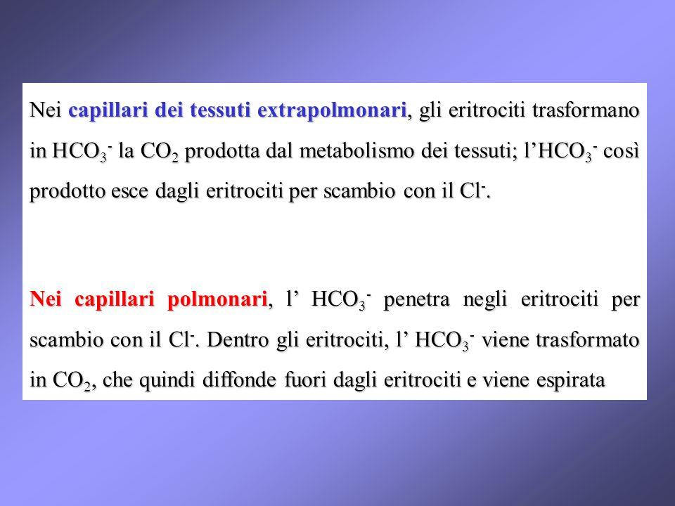 Nei capillari dei tessuti extrapolmonari, gli eritrociti trasformano in HCO 3 - la CO 2 prodotta dal metabolismo dei tessuti; lHCO 3 - così prodotto esce dagli eritrociti per scambio con il Cl -.