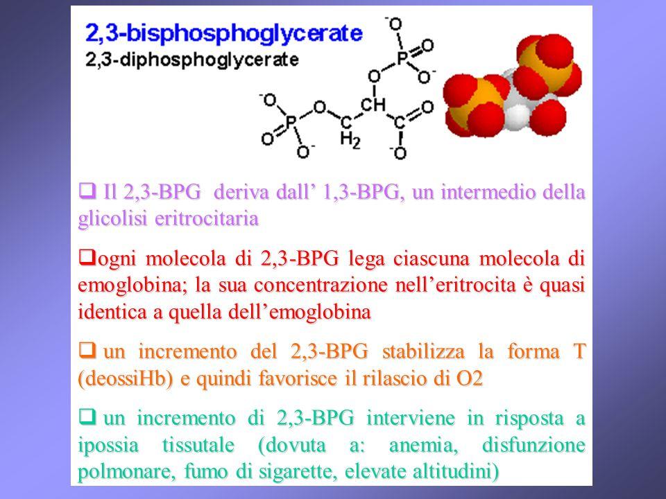 Il 2,3-BPG deriva dall 1,3-BPG, un intermedio della glicolisi eritrocitaria Il 2,3-BPG deriva dall 1,3-BPG, un intermedio della glicolisi eritrocitaria ogni molecola di 2,3-BPG lega ciascuna molecola di emoglobina; la sua concentrazione nelleritrocita è quasi identica a quella dellemoglobina ogni molecola di 2,3-BPG lega ciascuna molecola di emoglobina; la sua concentrazione nelleritrocita è quasi identica a quella dellemoglobina un incremento del 2,3-BPG stabilizza la forma T (deossiHb) e quindi favorisce il rilascio di O2 un incremento del 2,3-BPG stabilizza la forma T (deossiHb) e quindi favorisce il rilascio di O2 un incremento di 2,3-BPG interviene in risposta a ipossia tissutale (dovuta a: anemia, disfunzione polmonare, fumo di sigarette, elevate altitudini) un incremento di 2,3-BPG interviene in risposta a ipossia tissutale (dovuta a: anemia, disfunzione polmonare, fumo di sigarette, elevate altitudini)
