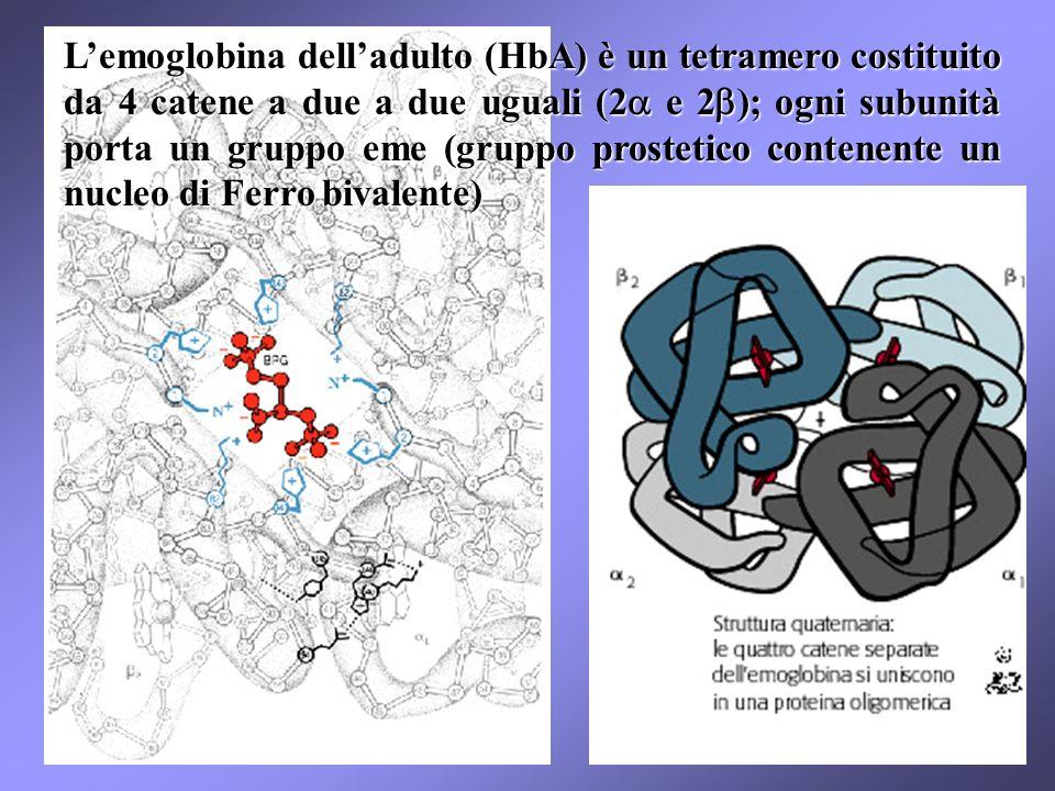 Lemoglobina delladulto (HbA) è un tetramero costituito da 4 catene a due a due uguali (2 e 2 ); ogni subunità porta un gruppo eme (gruppo prostetico contenente un nucleo di Ferro bivalente)