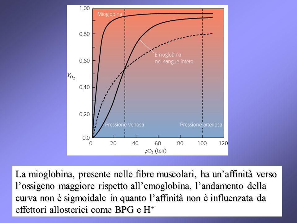 La mioglobina, presente nelle fibre muscolari, ha unaffinità verso lossigeno maggiore rispetto allemoglobina, landamento della curva non è sigmoidale in quanto laffinità non è influenzata da effettori allosterici come BPG e H +