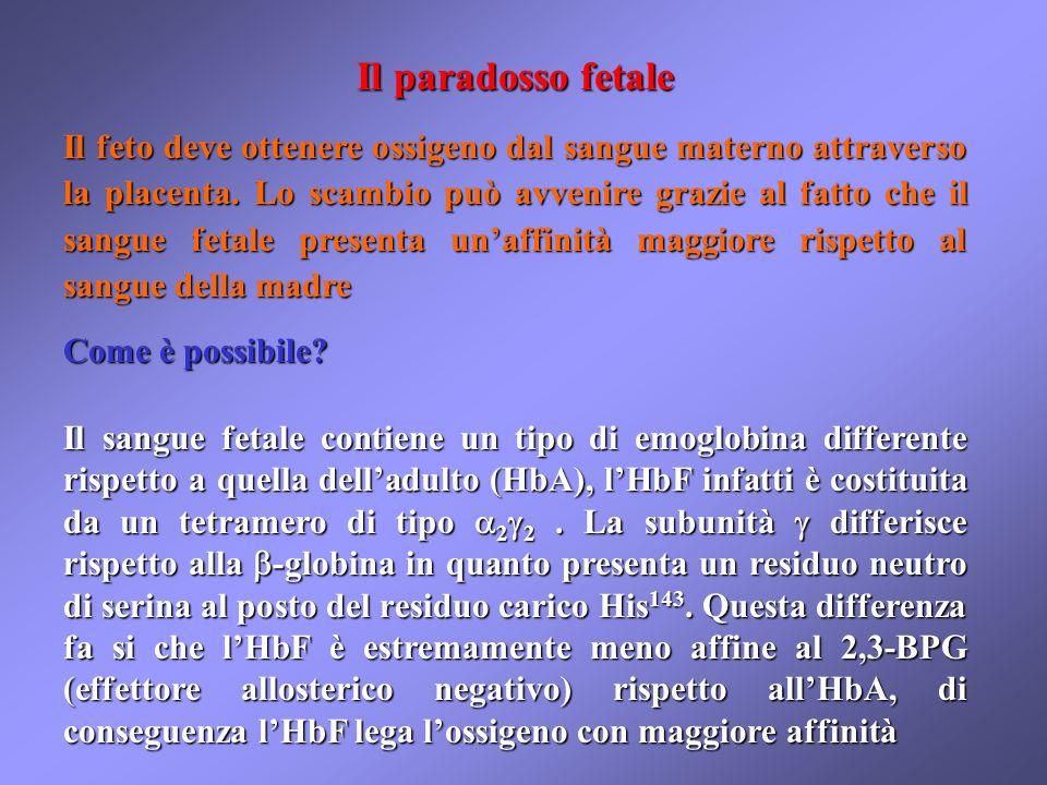 Il paradosso fetale Il feto deve ottenere ossigeno dal sangue materno attraverso la placenta. Lo scambio può avvenire grazie al fatto che il sangue fe
