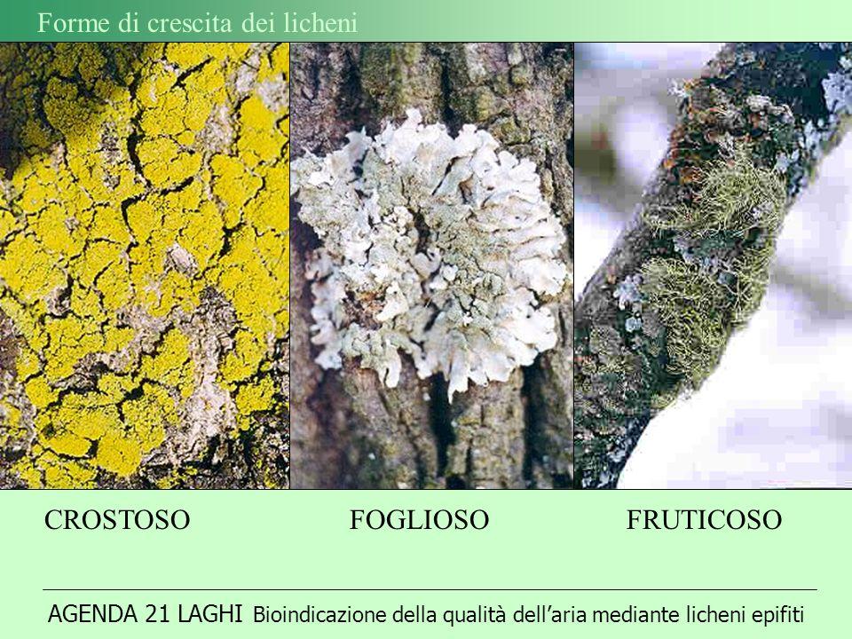AGENDA 21 LAGHI Bioindicazione della qualità dellaria mediante licheni epifiti Forme di crescita dei licheni CROSTOSO FOGLIOSOFRUTICOSO
