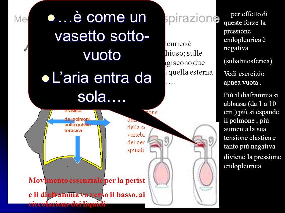 Trazione elastica dei polmoni sulla gabbia toracica In direzione delle costole, della colonna vertebrale e dei nervi spinali …per effetto di queste fo