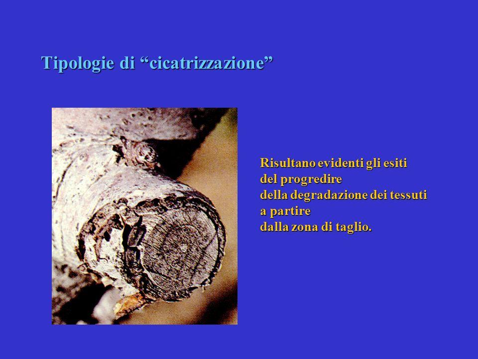 Tipologie di cicatrizzazione In questo caso la cicatrizzazione non è avvenuta: come si può vedere si è in presenza di una forma di cancro che lentamen