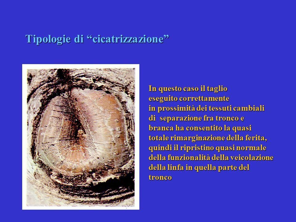 Tipologie di cicatrizzazione Si può osservare come la formazione del callo cicatriziale consenta il mantenimento in vita, dei tessuti della branca, po
