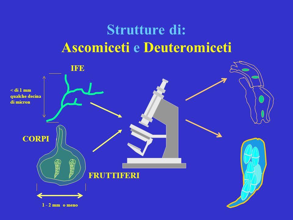 AGENTI DI CARIE: tipologie e principali caratteristiche II^ ASCOMICETI e DEUTEROMICETI sono funghi che producono cancri corticali, distruggono la cort