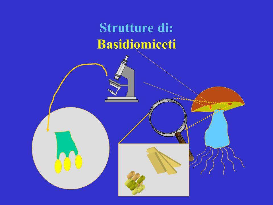 AGENTI DI CARIE: tipologie e principali caratteristiche III^ BASIDIOMICETI pSono funghi che producono fruttificazioni visibili ad occhio nudo dette ca