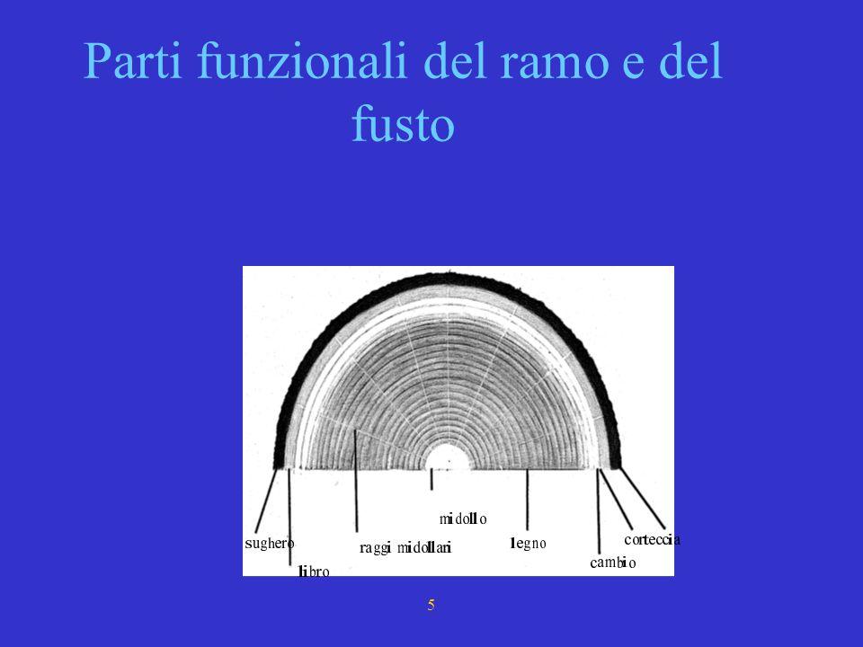 3 LA FERITA Qualunque area di taglio espone allambiente esterno la struttura dei vasi mAttraverso i vasi circolano i due tipi di linfa. Nella zona di