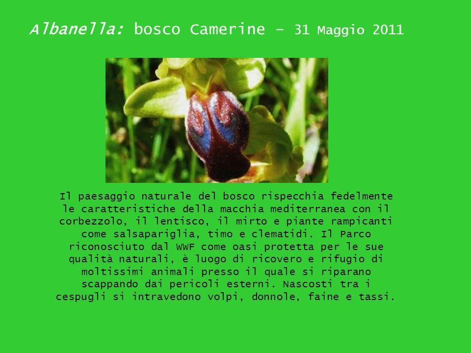 Albanella: bosco Camerine – 31 Maggio 2011 Il paesaggio naturale del bosco rispecchia fedelmente le caratteristiche della macchia mediterranea con il