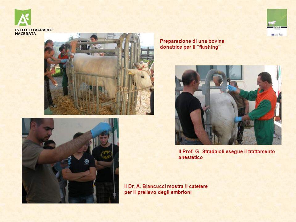 Preparazione di una bovina donatrice per il