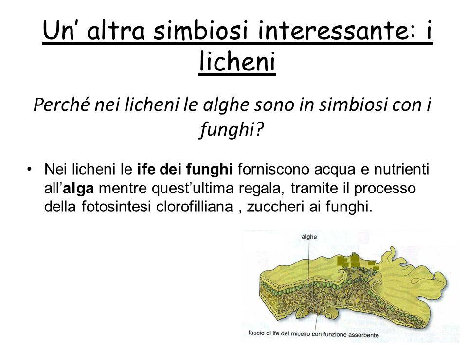 Un altra simbiosi interessante: i licheni Nei licheni le ife dei funghi forniscono acqua e nutrienti allalga mentre questultima regala, tramite il pro